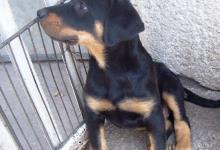 Inzercia psov: Beauceron - Francúzsky ovčiak - šteniatko