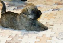 Inzercia psov: Krásne šteniatka kern/cairn terriera