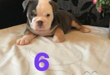 Inzercia psov: Na predaj anglické buldogy akc registrované štenia