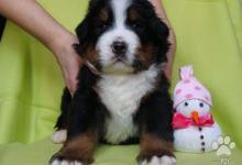 Inzercia psov: bernsky salašnicky pes-šteniatka