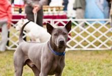 Inzercia psov: Thajský ridgeback modrý