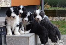 Inzercia psov: Nádherné šteniatka Bearded collie