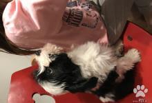 Inzercia psov: Tibetský teriér šťeniatka