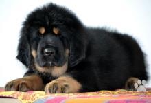 Inzercia psov: Tibetská doga - štěňátka s rodokmenem