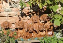 Inzercia psov: Maďarský stavač, odber april