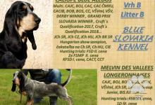 Inzercia psov: Modrý gaskonsky baset