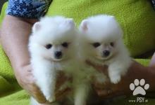 Inzercia psov: Německý špic bílý, trpasličí, malý a střední