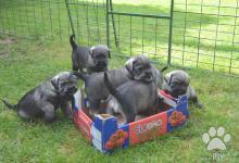 Inzercia psov: Bradač stredný korenie a sol