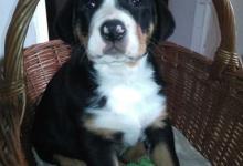 Inzercia psov: Velký švýcarský salašnický pes - štěňátka ( fenky)
