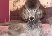 Inzercia psov: Pudel královský strieborný