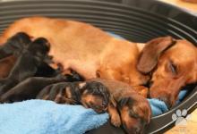 Inzercia psov: Ponúkam šteniatka čistokrvných  jazvečíkov bez PP