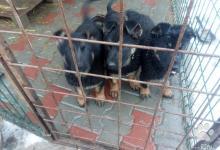 Inzercia psov: šteniatka NO