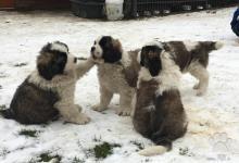 Inzercia psov: Moskevský strážní pes