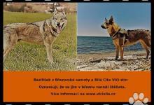 Inzercia psov: Československý vlčák štěňata s PP