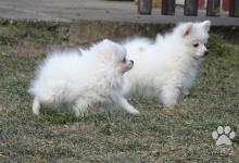 Inzercia psov: Německý špic malý a trpasličí