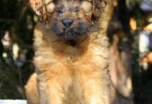 Inzercia psov: Briard