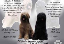Inzercia psov: BRIARD - černý