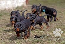 Inzercia psov: CHS Dark Hoof Gordons - šteniatka s PP