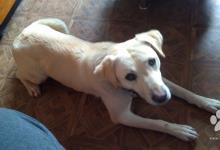Inzercia psov: Darujem fenku labradora