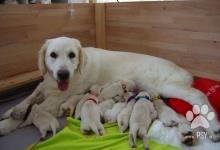Inzercia psov: Štěňata zlatého retrívra s PP