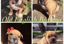 Inzercia psov: Old English Bulldog - ODBER O TÝŽDEŇ!