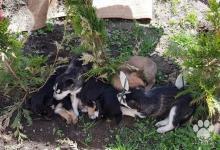 Inzercia psov: Predám štenistka sibirskeho huskyho