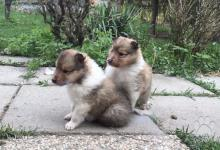 Inzercia psov: Šteniatka dlhosrstej kólie