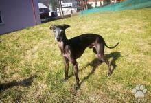 Inzercia psov: Taliansky chrtík na krytie s PP