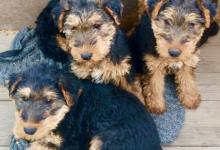 Inzercia psov: PREDÁM ŠTENIATKA WELSH TERRIEROV - PES - nie SUČKA