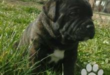 Inzercia psov: Stafordšírsky bulterier