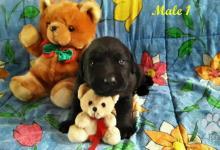 Inzercia psov: Labrador Retriever šteniatká