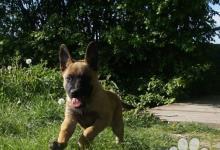 Inzercia psov: Belgický ovčák malinois-štěně s PP