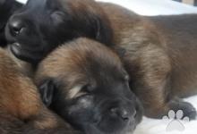 Inzercia psov: Belgický ovčák malinois s PP - pracovní linie