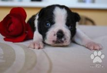 Inzercia psov: Predaj šteniatok bostonský terier s PP