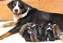 Inzercia psov: Appenzellský salašnický pes