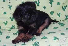 Inzercia psov: Belgický grifonek