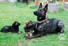 Inzercia psov: Prodej štěňat německý ovčák