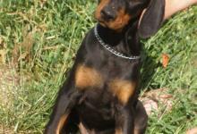 Inzercia psov: Dobrman - 2 černí pejsci s rodokmenem