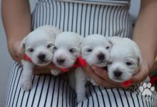 Inzercia psov: Maltezáčik, šteniatka