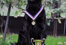 Inzercia psov: Nabízím krytí krásným a úspěšným psem, plemene FCR