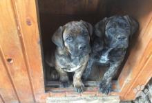 Inzercia psov: Šteniatká Cane Corso