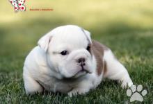 Inzercia psov: Anglický buldok - BULLDOG štěňata s PP