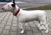 Inzercia psov: Miniatúrny Bullterrier
