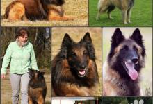 Inzercia psov: Belgický ovčiak Tervueren (šteniatka) s PP