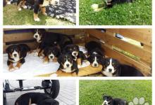 Inzercia psov: Velký švýcarský salašnický pes s PP