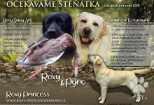 Inzercia psov: Štěňata Labradorského retrievera