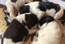 Inzercia psov: Anglický špringršpaněl-štěně