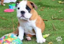 Inzercia psov: Anglický buldok - štěně na prodej