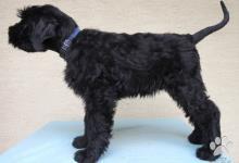 Inzercia psov: Velký bradáč - psík k odberu
