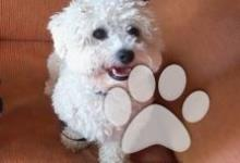 Inzercia psov: Bišon na krytie